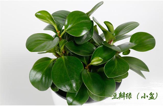 【【带花盆】盆栽植物
